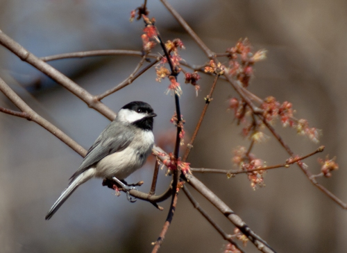 chickadee_blog