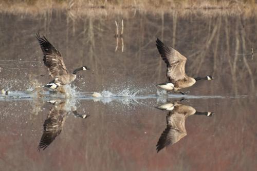geese_takeoff2_blog