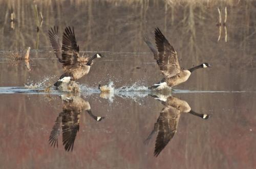 geese_takeoff_blog