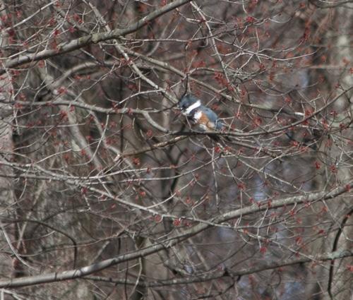 kingfisher2_blog