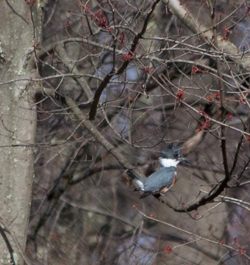 kingfisher3_blog