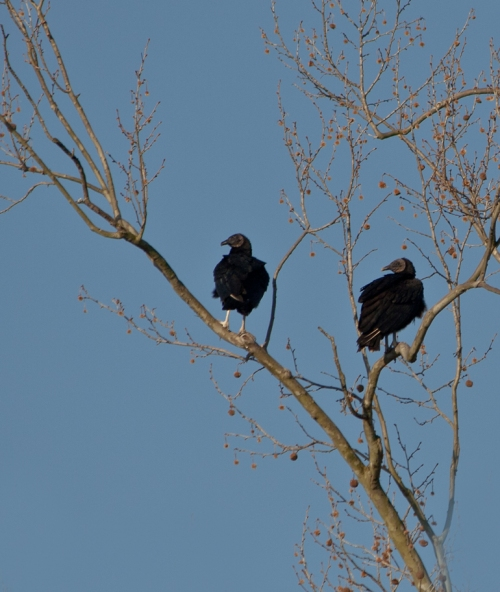Vultures_blog
