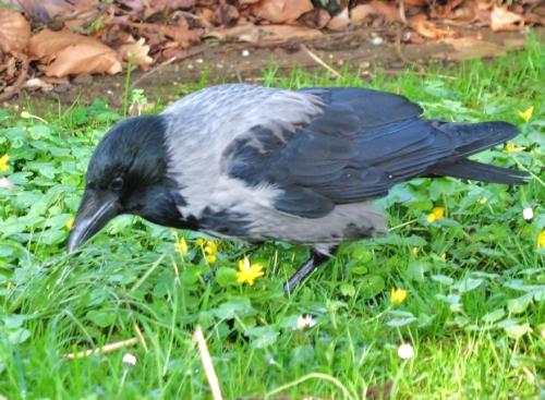 crow1b_blog