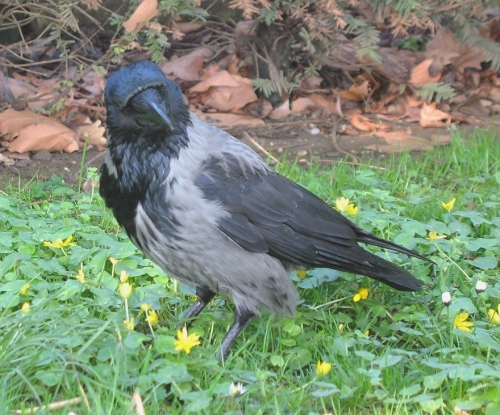 crow_frontb