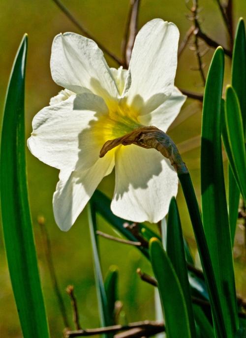 daffodil1_blog