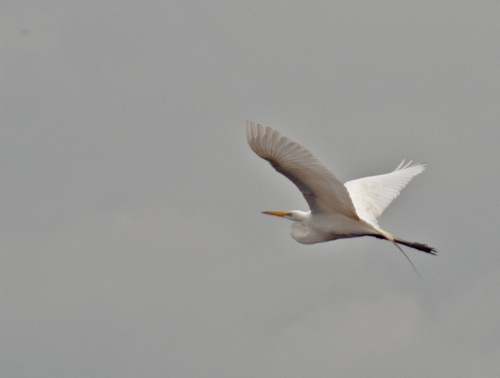 egret_flying2_blog