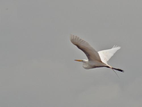 egret_flying2_blog