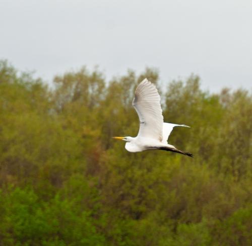 egret_flying_blog