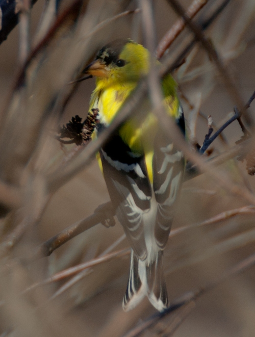 goldfinch2_blog