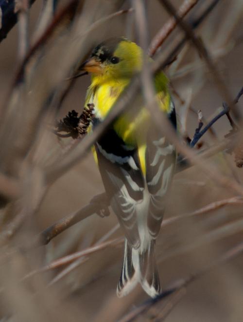 goldfinch2_blog