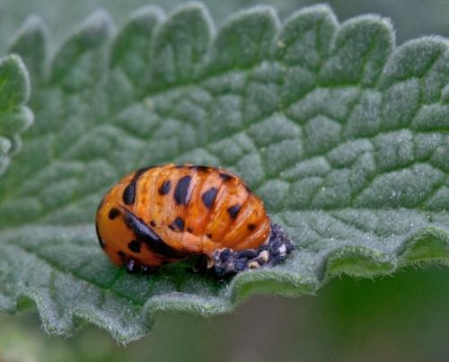 larva2_web