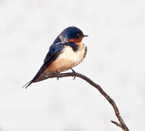 swallow1_tree_blog