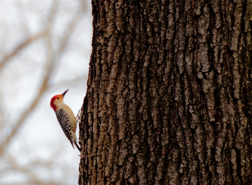 woodpecker1_blog