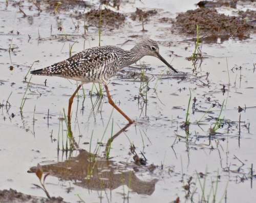 yellowlegs1_blog
