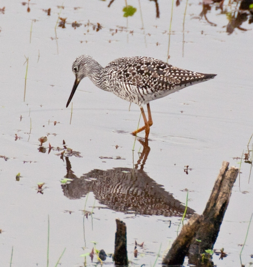 yellowlegs2_blog