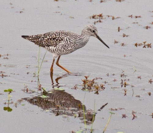 yellowlegs3_blog