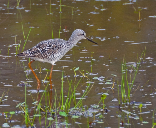 yellowlegs4_blog