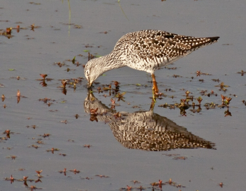 yellowlegs5_blog