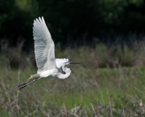 egret_wing1_blog