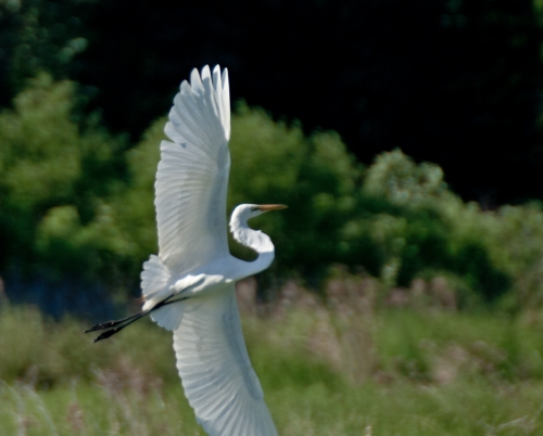 egret_wings2_blog