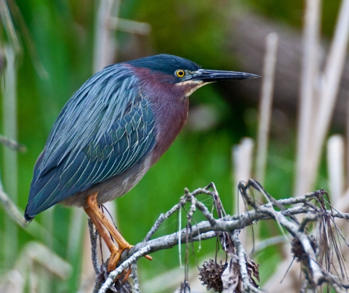 greenheron1_blog