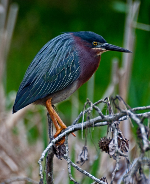 greenheron2_blog