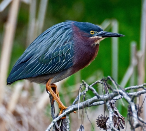 greenheron3_blog