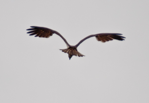 osprey1_blog