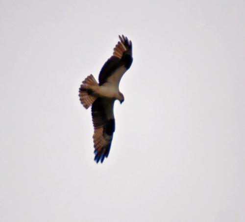 osprey2_blog