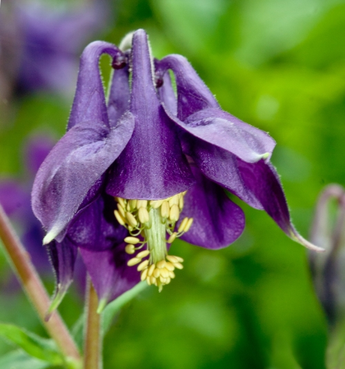 purple_columbine_blog