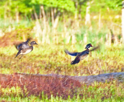 woodduck_flying_blog