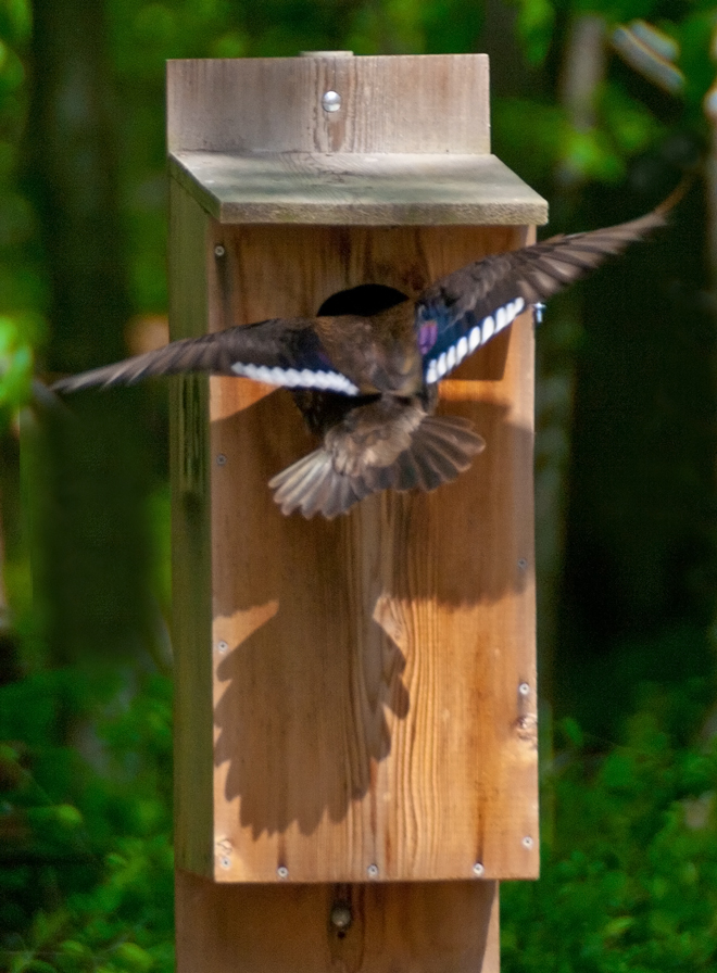 Wood Duck Entering Nesting Box Mike Powell