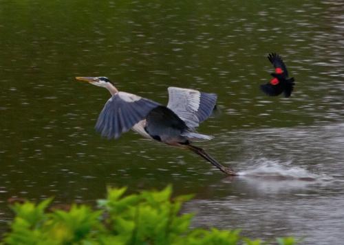 chase1_blackbird