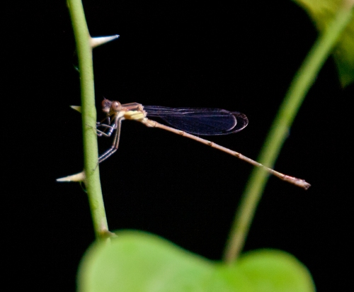 damselfly2_blog