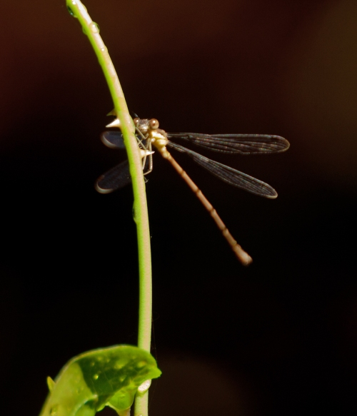 damselfly_blog