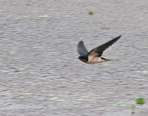 flying_swallow2_blog