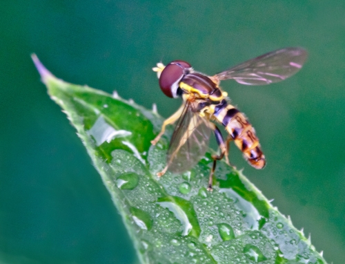 hoverfly_blog