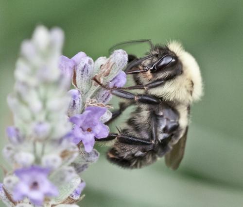 lavender1_blog
