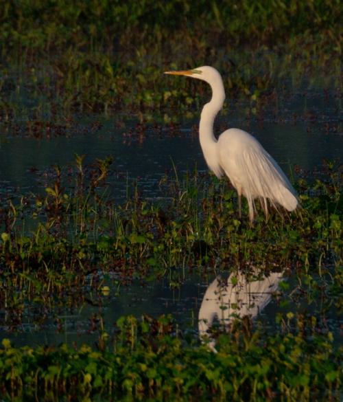 morning_egret2_blog