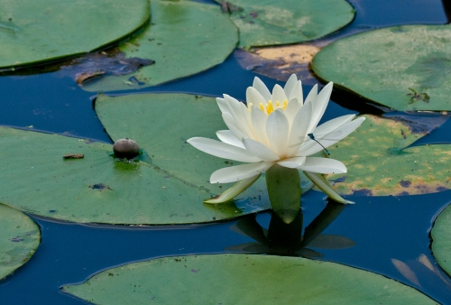 water_lily_blog