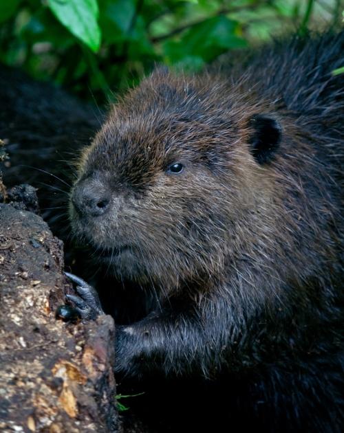 beaver1_blog