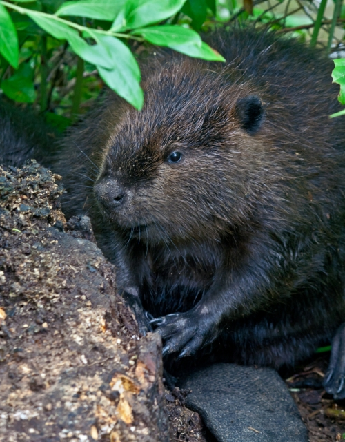 beaver2_blog