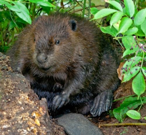 beaver4_blog
