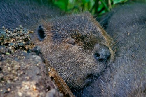 beaver6_blog