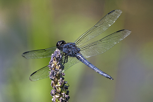 Black Dragonfly lorezB