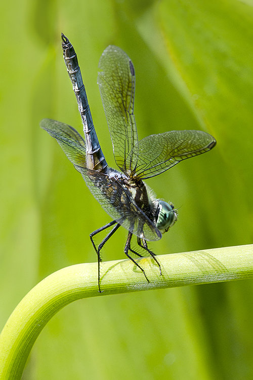 Blue Dasher lorez
