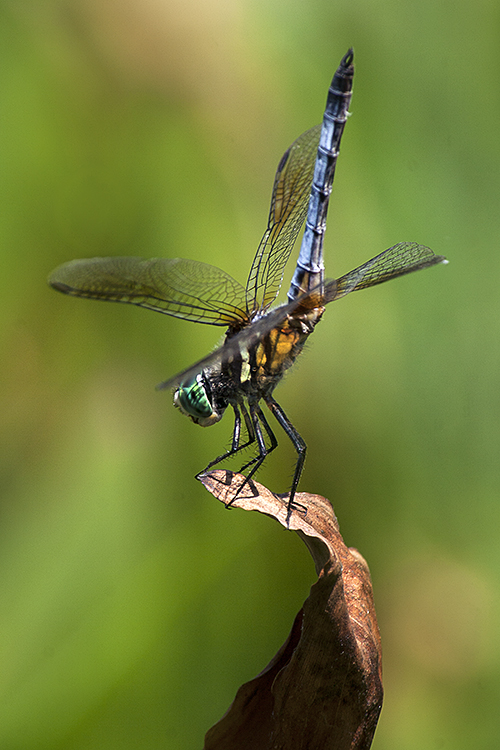 Blue Dasher Undulate