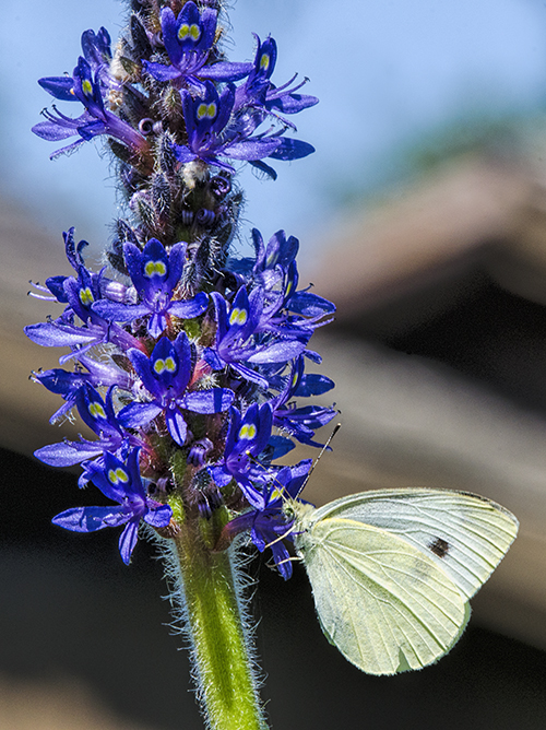 Cabbage White lorez