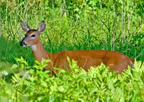 deer1_blog