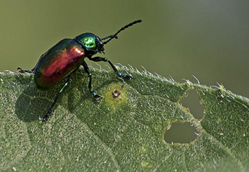 Dogbane Beetle lorez